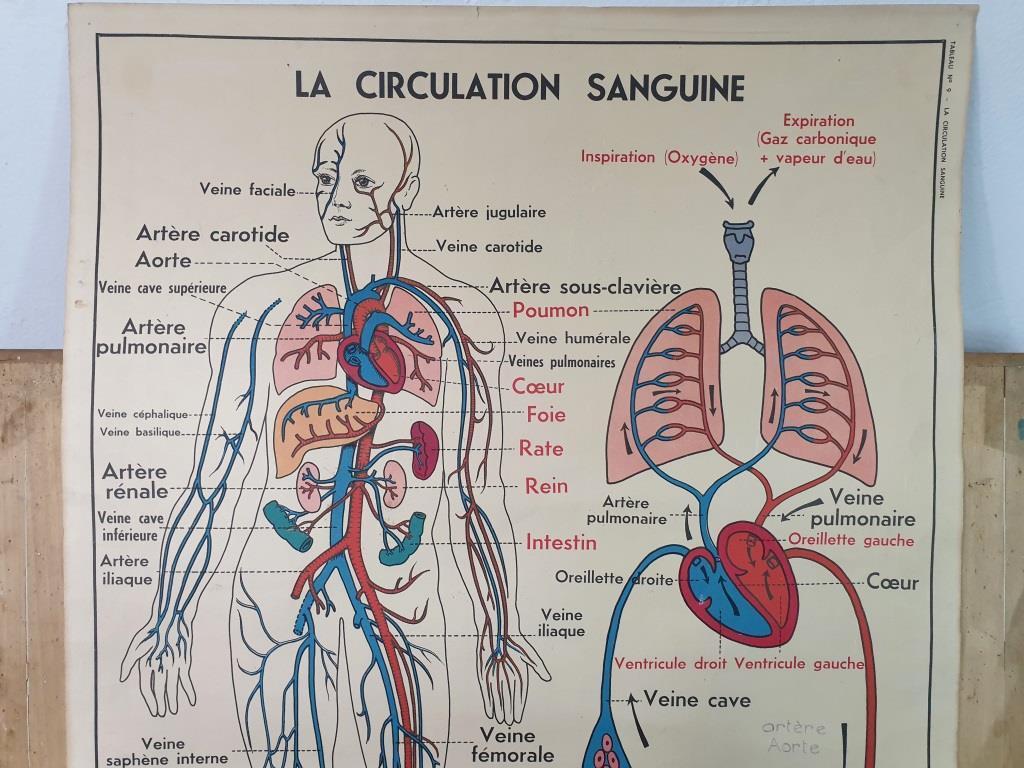 0 affiche anatomique 10