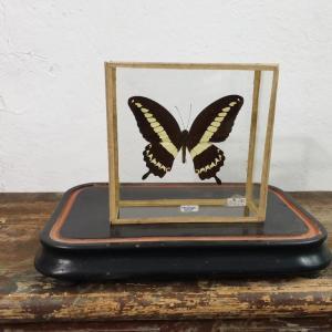 0 papillon 3