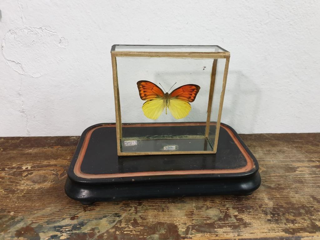 0 papillon 5