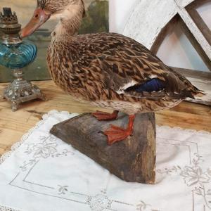 01 canard cane naturalisee
