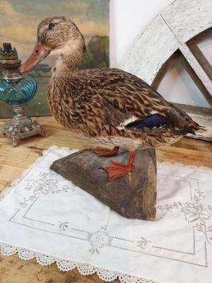 Canard naturalisé