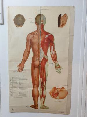 Planche Anatomique Acupuncture