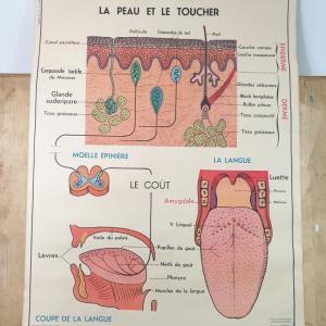 1 affiche anatomie 12