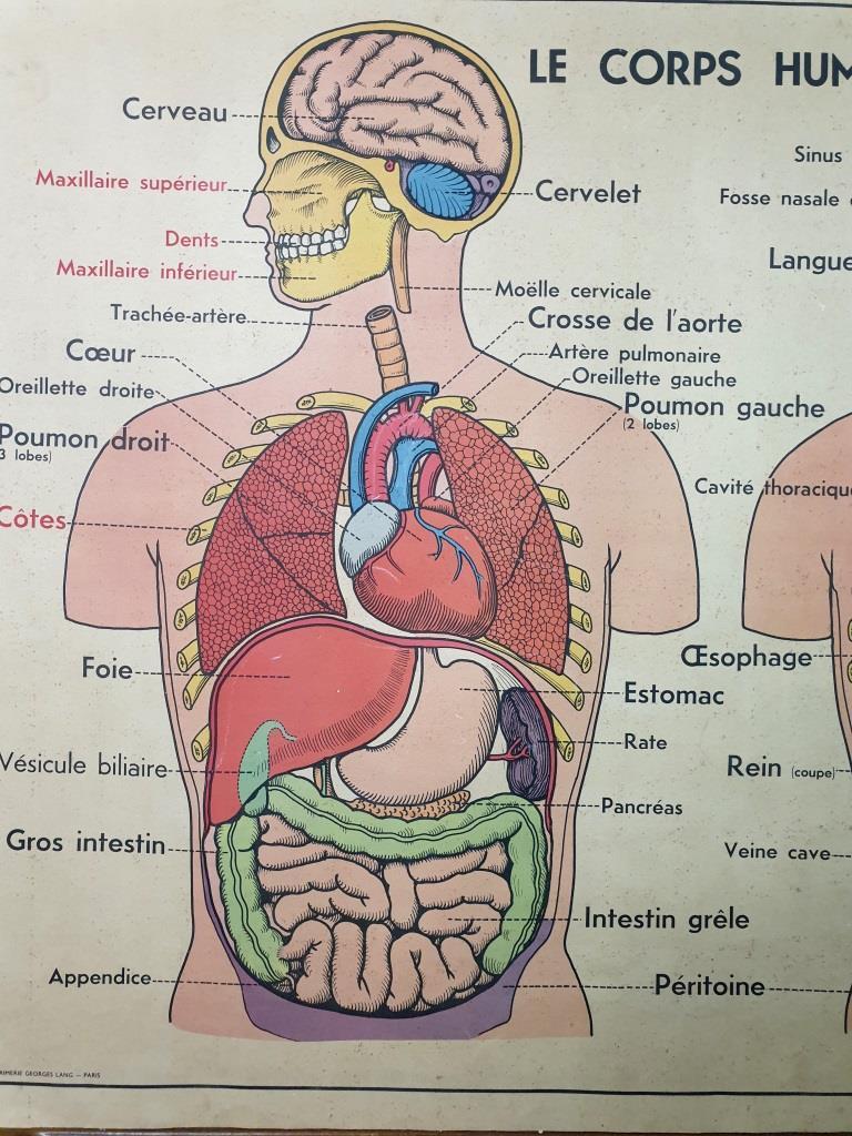 1 affiche anatomie 8
