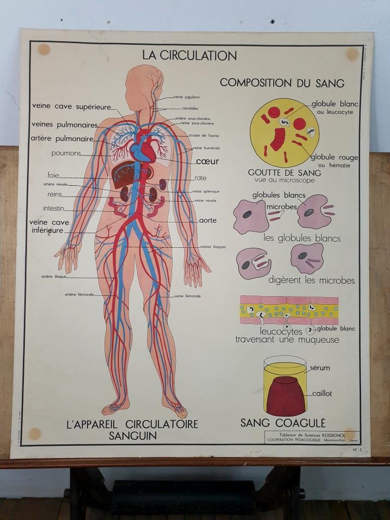 1 affiche anatomie la circulation