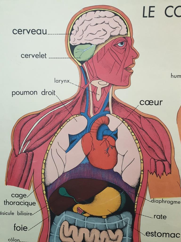 1 affiche anatomique le corps