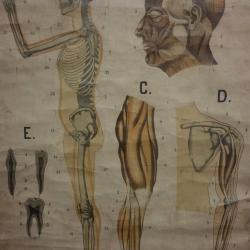 Affiche anatomique