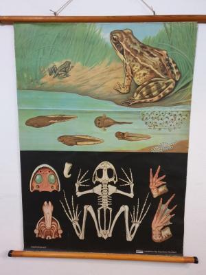 Affiche scolaire Grenouille