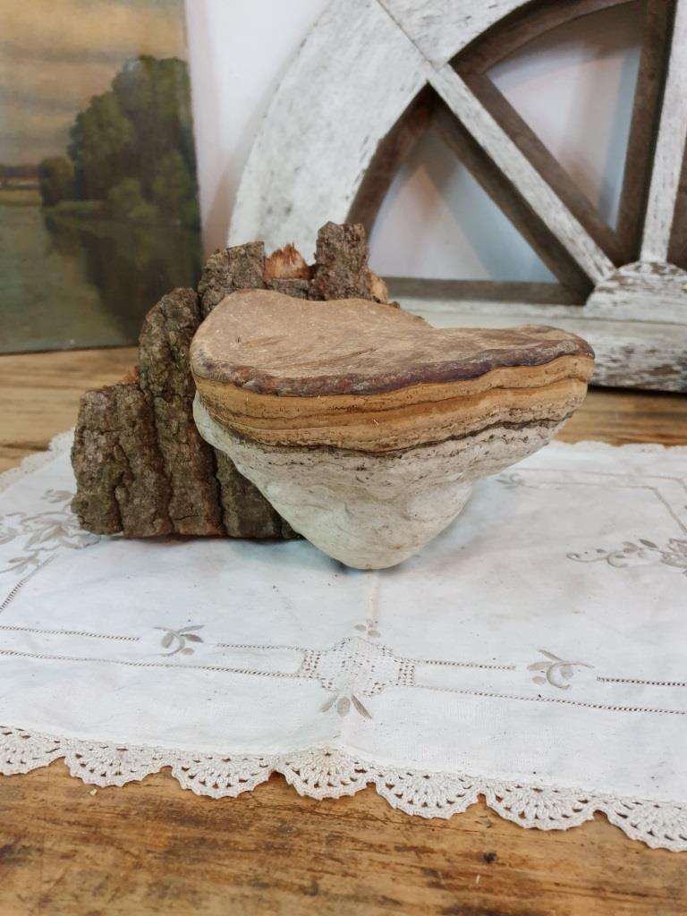 1 champignon amadou 2