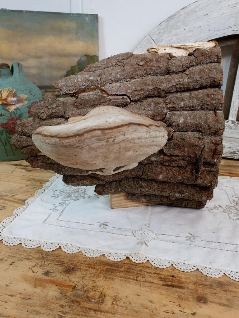1 champignon amadou 3