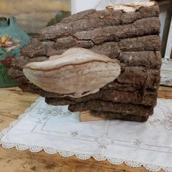 Champignon amadou