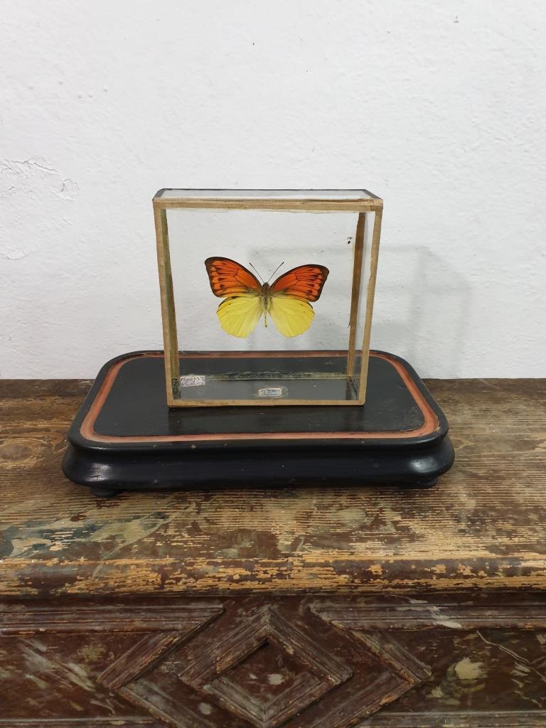 1 papillon 5