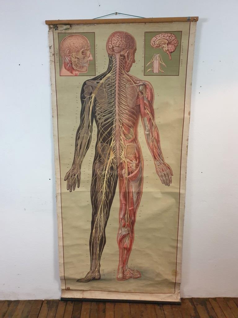 11 grande affiche anatomique