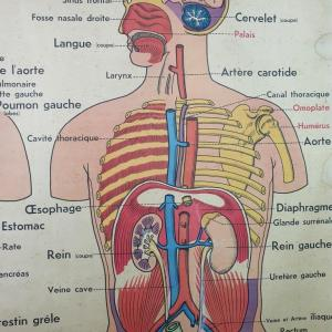 2 affiche anatomie 8