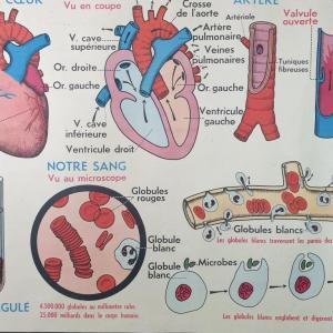 2 affiche anatomique 13