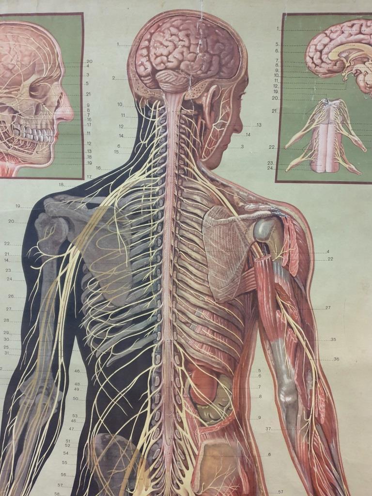 2 grande affiche anatomique