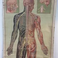 3 grande affiche anatomique
