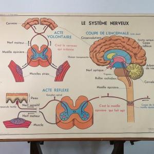 4 affiche anatomie 12
