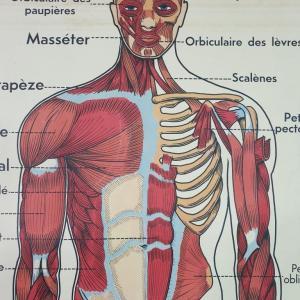 4 affiche anatomie 8
