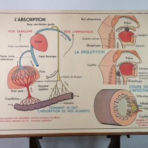 4 affiche anatomique 13