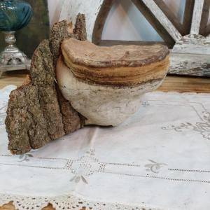 4 champignon amadou 2