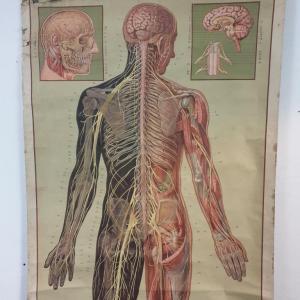 4 grande affiche anatomique