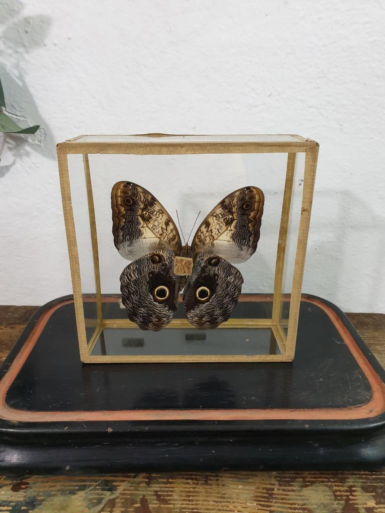 4 papillon 1