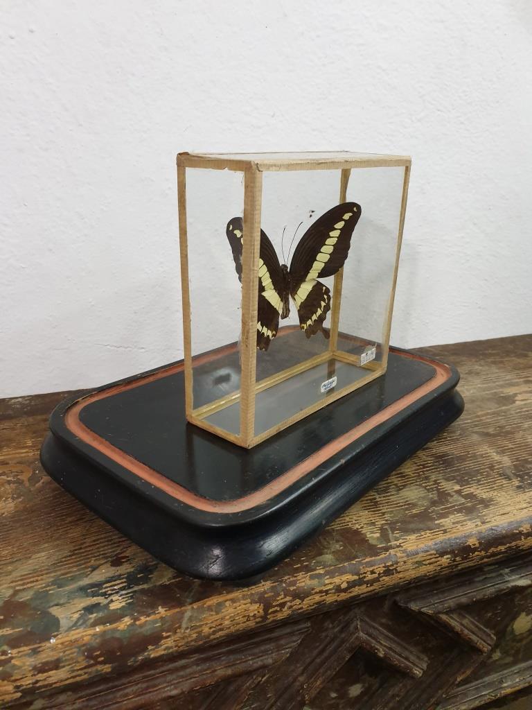 4 papillon 2