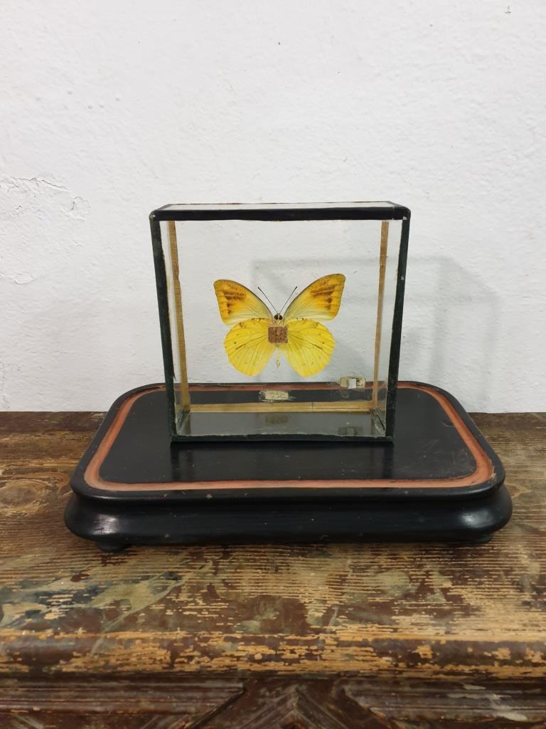 4 papillon 5