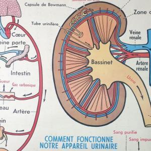 5 affiche anatomie 14