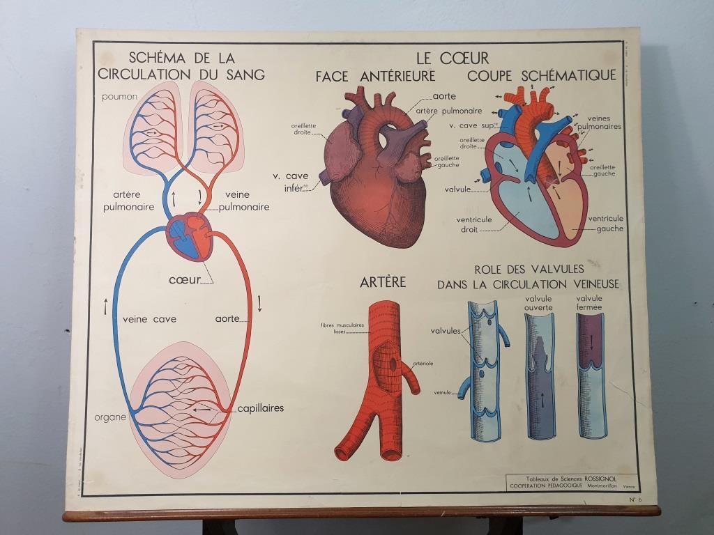 5 affiche anatomie la circulation