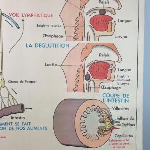5 affiche anatomique 13