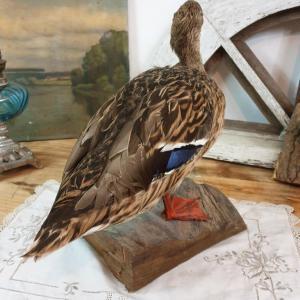 5 canard cane naturalisee