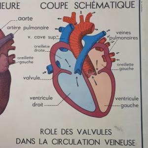 6 affiche anatomie la circulation