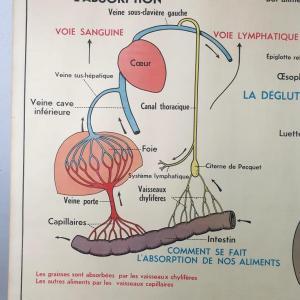 6 affiche anatomique 13