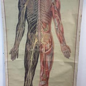 6 grande affiche anatomique