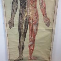 7 grande affiche anatomique