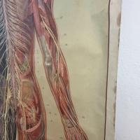 8 grande affiche anatomique