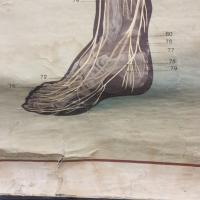 9 grande affiche anatomique